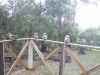 Kookaburras on porch at Wannawong\', Blackwood